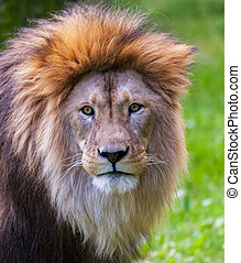 lion looks into the camera