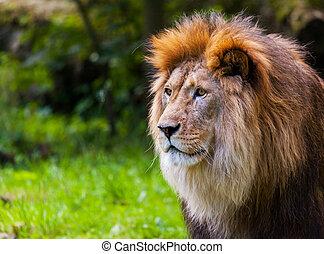 lion looks