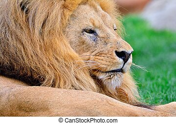 Lion lying on green grass