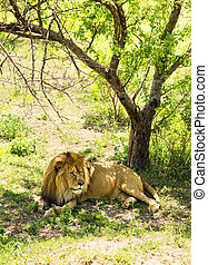 Lion lying on the grass.