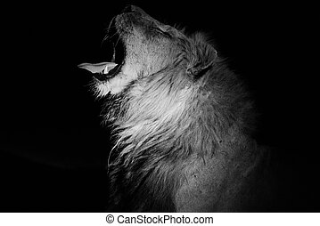 lion, mâle, bâiller, obscurité