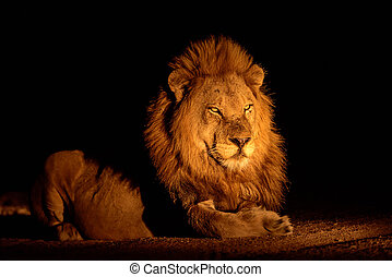 lion, mâle, nuit