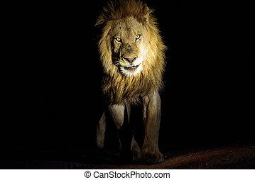 lion, mâle, patrouille, nuit