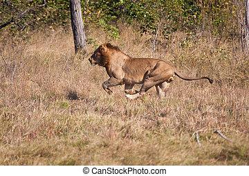 Lion male hunt run fast