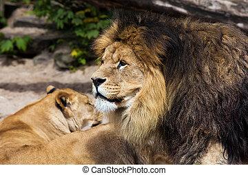 Lion male in Zoo