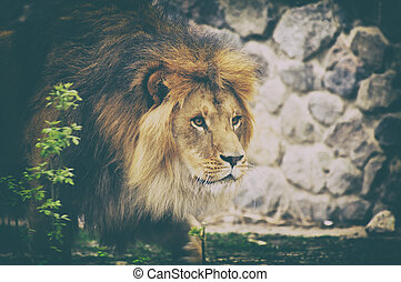 Lion. - Male lion looking out atop rocky outcrop.