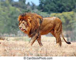Lion - male lion on the grass