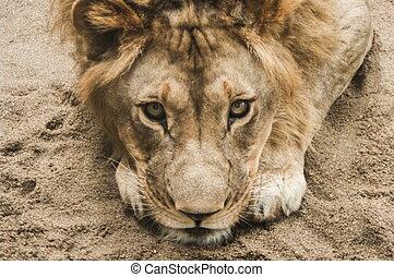 Lion , male lion