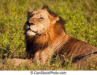 Lion male lying in green grass