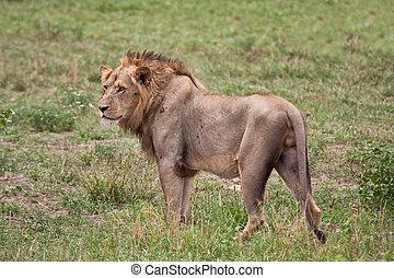 Lion male portrait closeup