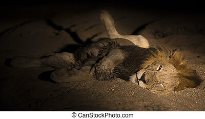 Lion male with huge mane lay to rest on sand in darkness