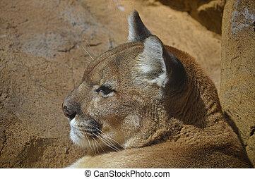 lion montagne