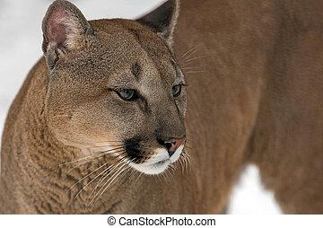 lion montagne, puma