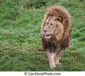Lion noble