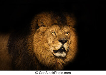 lion on a black background