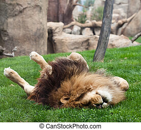 lion on grass