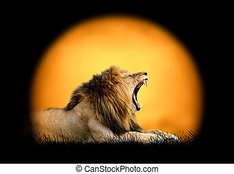 Lion on the background of sunset
