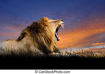 lion on the background of sunset sky