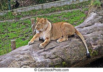 Lion on the log