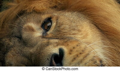 Lion Opens Eye Closeup - Closeup shot of lion resting and...