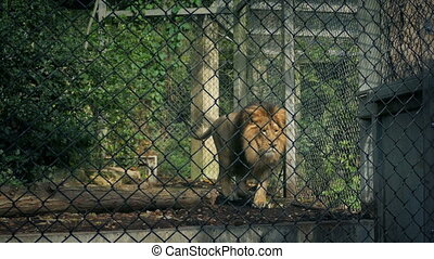 Lion Pacing Up And Down Cage - Lion in enclosure paces up...