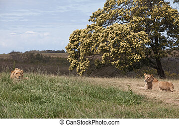 Lion pair - Lion and lioness lying down in grassland, South...