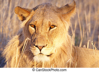 Lion (panthera leo) close-up - Lioness (panthera leo) lying...