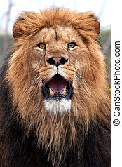 Lion (Panthera leo) - Closeup of a lion with open mouth and...
