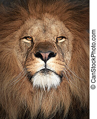 Lion (Panthera leo) - Closeup portrait of a beautiful male...