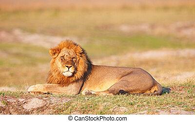 Lion (panthera leo) in savanna - Lion (panthera leo) lying...