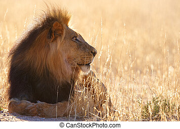 Lion (panthera leo) in savannah - Lion (panthera leo) lying...