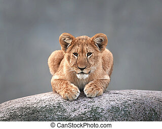 Lion (Panthera leo) - Lion resting on a big rock in its...