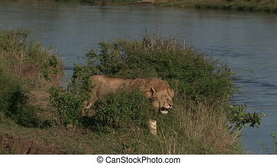 Lion ( Panthera leo) male walking beside river edge, waiting for prey