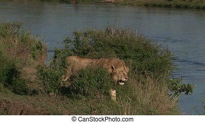 Lion ( Panthera leo) male walking beside river edge, waiting...