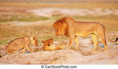 Lion (panthera leo) pride