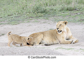 Lion (Panthera leo) with cub