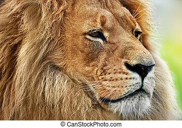 lion, portrait, à, riche, crinière, sur, savane, safari