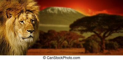 lion, portrait, sur, montez kilimanjaro, à, coucher soleil
