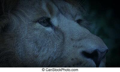 Lion Pricks Ears Up At Dusk - Close-up shot of a lion...