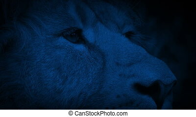 Lion Pricks Ears Up In Jungle At Night - Big male lion...