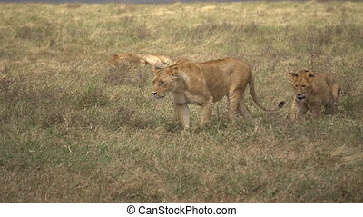 Lion Pride in African Savanna. Lioness and Cubs Walking, Male Lion Watching