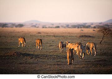 Lion pride in Serengeti