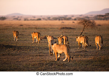 Lion pride walking in Serengeti