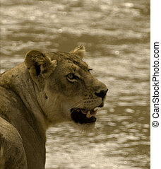 Lion Profile in Africa