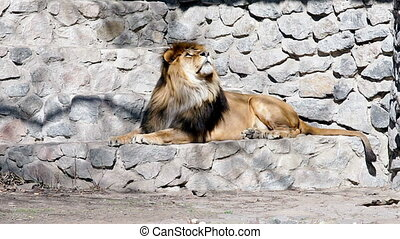 Lion resting in a zoo. - Lion resting in a zoo