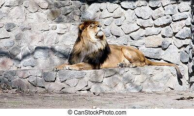 Lion resting in a zoo. - Lion resting in a zoo