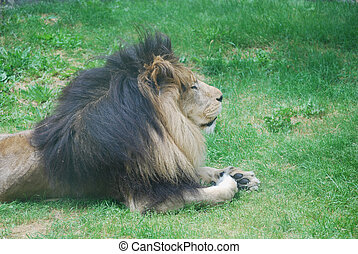 Lion Resting in the Warm Sunshine Laying in Grass