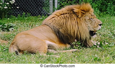Lion Resting - Old Male