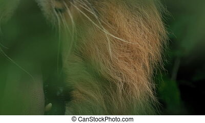 Lion Roars In The Jungle Foliage - Closeup shot of a big...