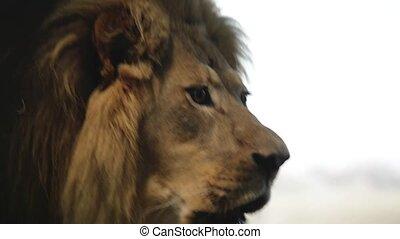 lion, rugir